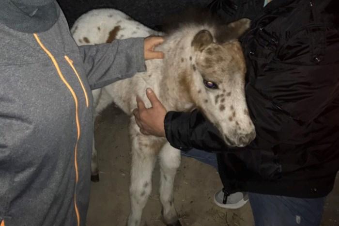 A csikónak szerencsére nem esett baja (forrás: police.hu)